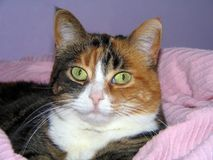 Pastel Cat. Calico cat resting in pink chenile blanket royalty free stock image