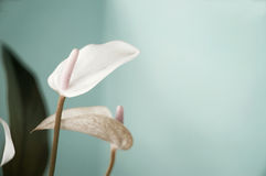 Pastel color of anthurium flower Stock Photography