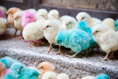 Pastel-colored baby chicks Stock Photography