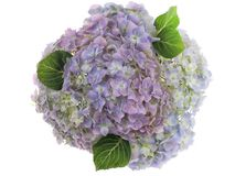 Pastel colored group of photographed fresh Hydrangea flowers on white background. Stock Images