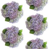 Pastel colored groups of photographed fresh Hydrangea flowers arranged on white background. Seamless image. Royalty Free Stock Photo