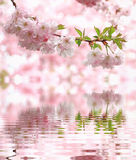 Pastel colored light pink cherry blooms, reflecting in water Stock Image