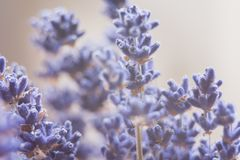 dried lavender flowers and bouquet with lavender royalty free stock photography