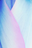 Pastel colored tulip petals, soft floral background blue and pin Stock Photography