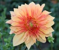 Pastel Dahlia colors. Autumn softness. Royalty Free Stock Photos