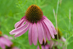 Pastel faded Cone Flower Royalty Free Stock Images
