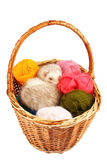 Pastel ferret in basket Stock Images