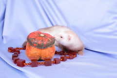 Pastel ferret Royalty Free Stock Images