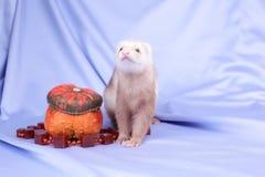 Pastel ferret Stock Image