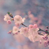 Pastel Filtered Cherry Blossom Royalty Free Stock Photography