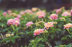 Pastel flowers Royalty Free Stock Photo