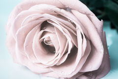 Pastel gentle toned roses with drops Royalty Free Stock Images