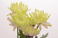 Pastel Green Chrysanthemums Royalty Free Stock Photography