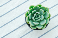 Pastel Green Rosette flowering Plant Echeveria Succulent. On stripe fabric table runnern Royalty Free Stock Images