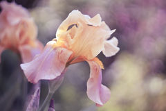 Pastel. Lupine flower in pastel colors royalty free stock photography