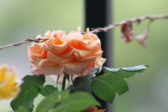 Pastel Orange Rose. Photo of a pastel orange rose with a dead wine resting on top of it stock image