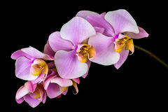 Pastel orchid flower Stock Photography