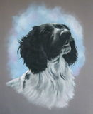Pastel Painting of Spaniel Dog. This is my pastel painting of a part-Spaniel dog looking upward Stock Photography