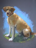 Pastel Painting of Yellow Lab Dog. My oil pastel painting of a Yellow Lab dog, seated and looking at the viewer Royalty Free Stock Photography