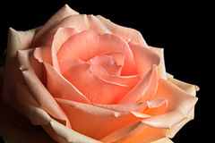 Pastel Peach Rose Royalty Free Stock Photo