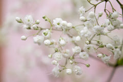 Pastel Pink. Baby breath flowers on a soft pink background Stock Photos