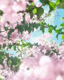 Pastel pink blooming flowers and blue sky in a dream garden, floral background. Blooming beauty, wedding invitation and nature concept - Pastel pink blooming royalty free stock photo