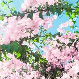 Pastel pink blooming flowers and blue sky in a dream garden, floral background. Blooming beauty, wedding invitation and nature concept - Pastel pink blooming royalty free stock photography