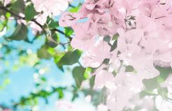 Pastel pink blooming flowers and blue sky in a dream garden, floral background. Blooming beauty, wedding invitation and nature concept - Pastel pink blooming royalty free stock photos