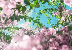 Pastel pink blooming flowers and blue sky in a dream garden, floral background. Blooming beauty, wedding invitation and nature concept - Pastel pink blooming stock image