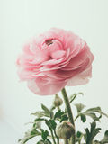 Pastel pink buttercup Royalty Free Stock Images