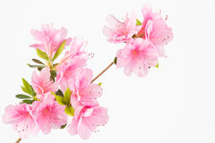 Pastel pink flower cluster Stock Photography
