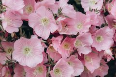 Pastel pink flowers background. royalty free stock photography