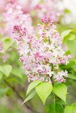 Pastel pink flowers of lilac tree. Spring lilaс flowers - pastel colors Royalty Free Stock Photography