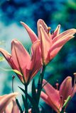 Pastel Pink Lily Stock Photography