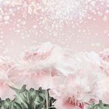 Pastel pink peonies floral background with bokeh. Layout or greeting card. For Mothers day, wedding or happy event Stock Photography