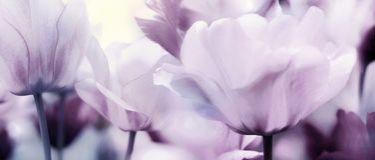 Pastel pink purple panorama of tulips stock image
