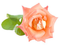 Pastel pink rose Royalty Free Stock Image
