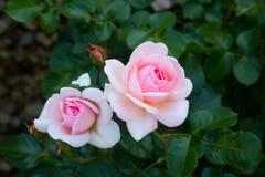 Pastel pink rose Royalty Free Stock Images