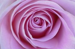 Pink rose in macro close up view with soft texture royalty free stock photos