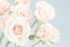 Pastel pink roses, muted colors Stock Photo