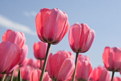 Pastel pink tulips. Pink tulips against a pastel blue sky Royalty Free Stock Photo