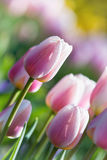 Pastel pink tulips in bloom Stock Image