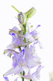 Pastel Purple Larkspur Isolated on White Stock Photo