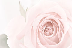 Pastel rose closeup Stock Photo