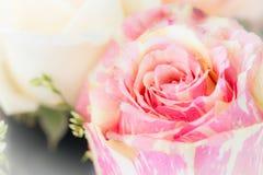 Pastel rose Royalty Free Stock Photos