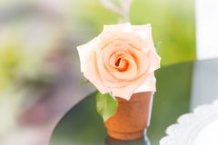 Pastel rose in pot Royalty Free Stock Photo