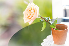 Pastel rose in pot Royalty Free Stock Images