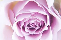 Pastel shade roses Stock Image