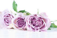 Pastel shade roses Stock Images