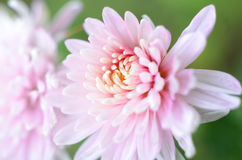 Pink Chrysanthemum closeup with copyspace. Pastel shades of pink mum flower closeup. Copyspace for wedding, bridal, funeral marketing, mums are enjoyed worldwide Royalty Free Stock Photography